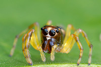 Jumping Spider - French Guiana